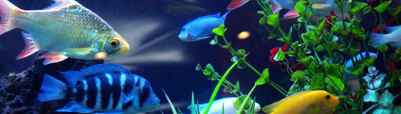 Healthy aquarium ecosystem through fish tank maintenance