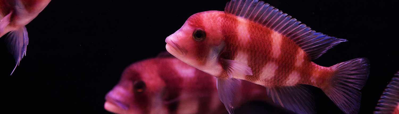 Pink tropical fish against dark aquarium background